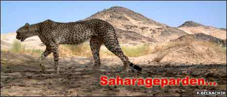 """""""En oerhört ovanlig och skygg underart av geparden"""" säger Farid Belbachir, som leder en stor fältundersökning om djuret"""