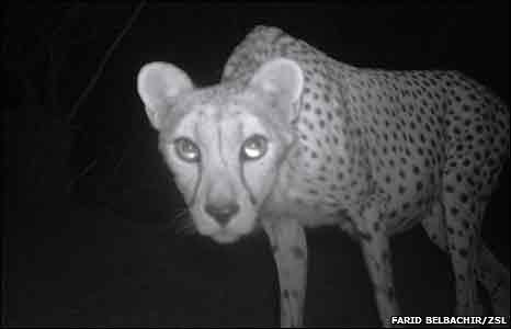 Mycket mera information behövs för att få klarhet i Saharagepardens situation