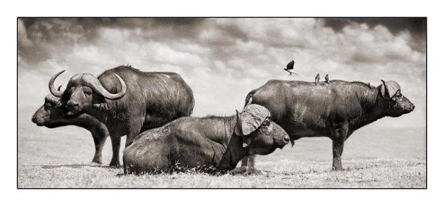 Grupporträtt av en buffelfamilj