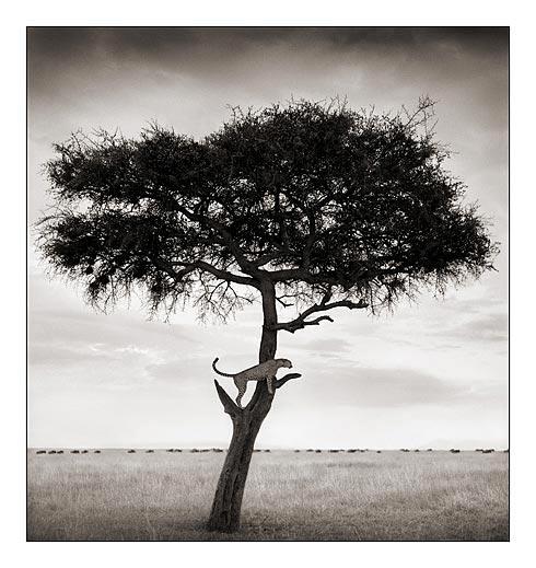 Utkik på savannen är denna gepard