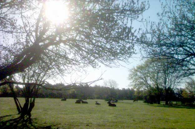 Korna mumsar förnöjt i den pastorala soluppgångsidyllen...