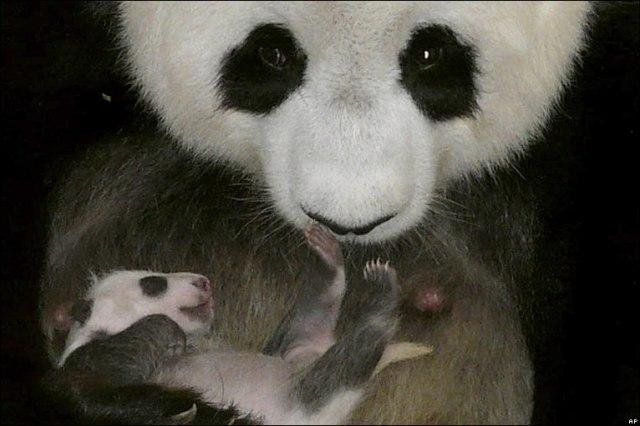7-åriga jättepandan Lin Hui visar stolt upp sin 4 veckor gamla unge på Chiang Mais zoo i norra Thailand.