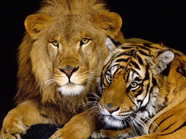 Vet du vad en korsning mellan lejon och tiger kallas..?